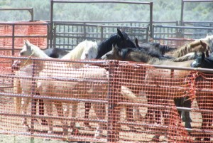 Horses in a holding pen